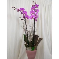 Orchidee - Weiß