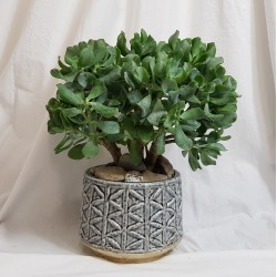 Crassula-Pflanze