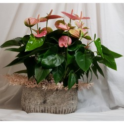 Colored anthurium plant