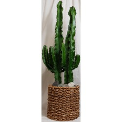 Euphorbia Ingens Kaktuspflanze