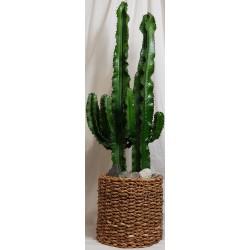 Plante cactus-Euphorbia Ingens