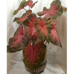 Colorful anthurium plant